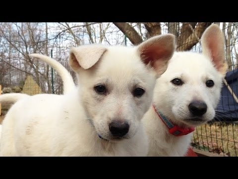 Delightful 7 Week Old Litter of Snowy Shepherd Pups