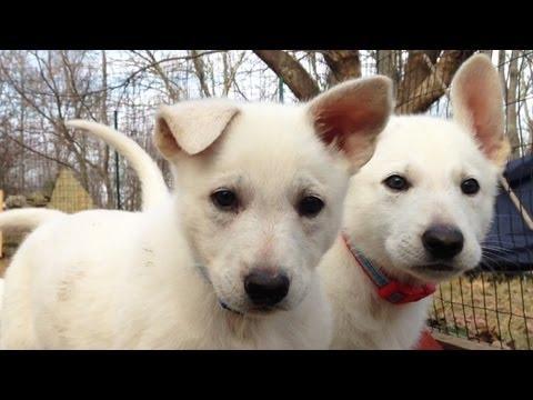Delightful 7 Week Old Litter of Snowy Shepherd Pups