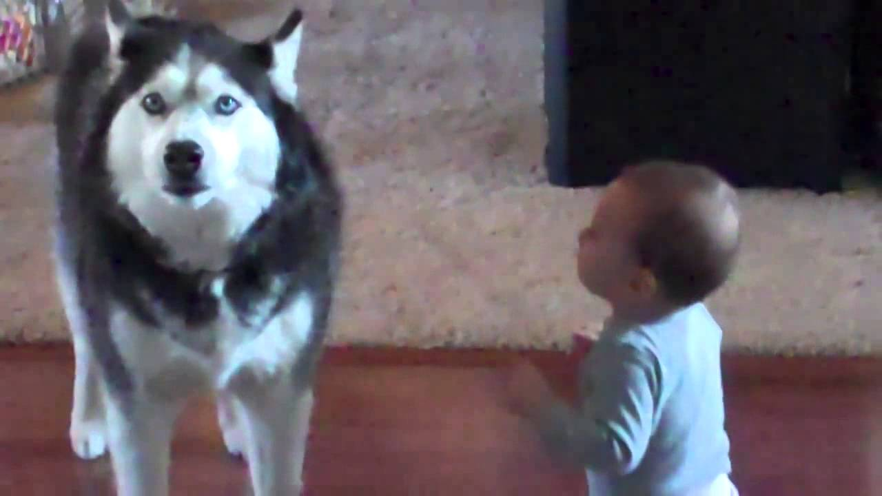 Hilarious Husky Sings Like a Baby