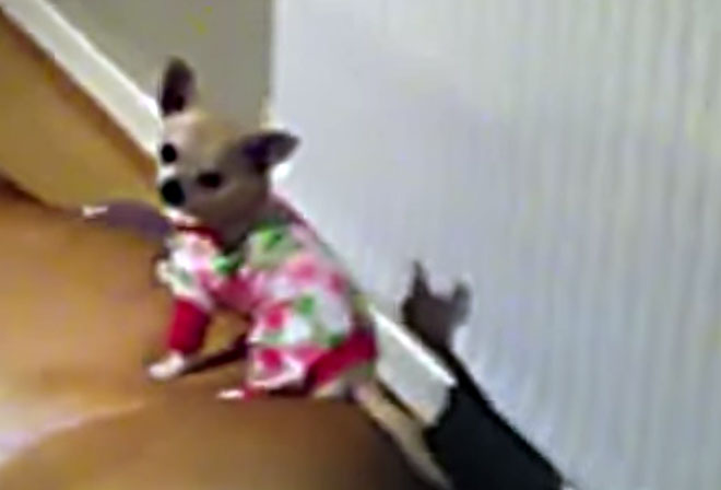 This Chihuahua May Have the Best Dog Bed Ever!