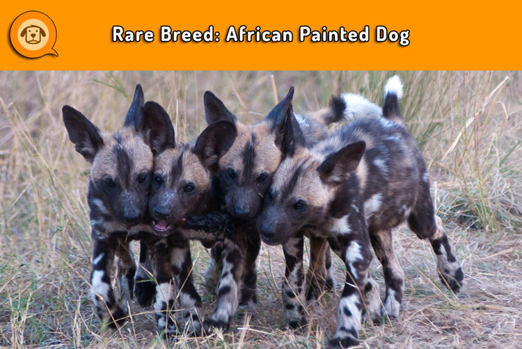 African Painted Dog puppies
