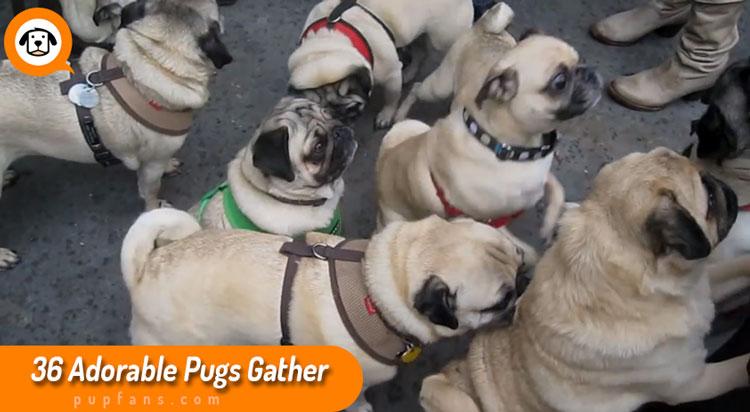 36 Pugs Gather
