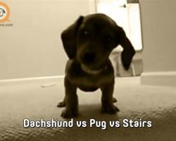 Dachshund vs Pug vs Stairs