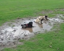 Three Pugs Got Up To Mischief at Dog Park and Their Owner's Reaction is Hilarious