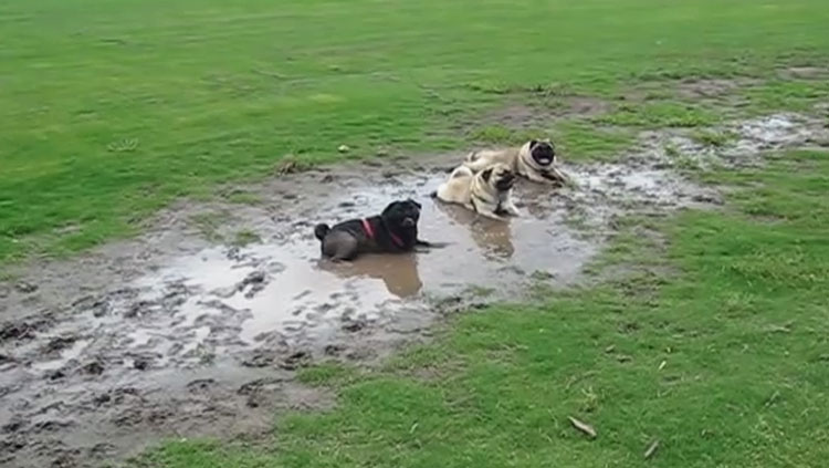 3 Pugs in Mud