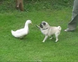 Crafty Pug Duck Hunter