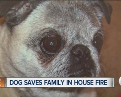 [Video] How Jersey the Hero Pug Saved Her Family