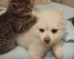 "The Bond Between a Kitten and Pomeranian Will Make You Go ""Aww"""
