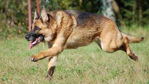GermanShepherdRunning