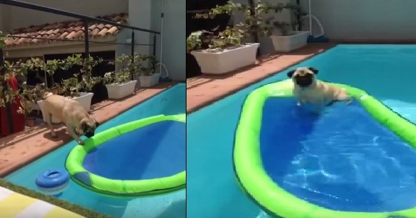 pug in the pool