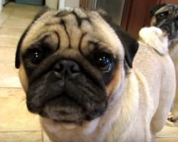 Pugs Get Super Excited About Their Aunt Visiting – So Sweet!
