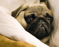 7 Amazing Facts About Pugs That'll Make You Want to Have One (or More) in Your Life STAT!