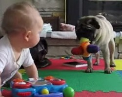 [VIDEO] This Pug Does NOT Want to Share with Baby — Too Funny!