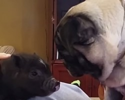 [VIDEO] Just How Will This Pug React to a Tiny Pig? Watch and Find Out!