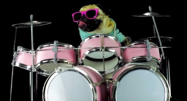 pug playing drums