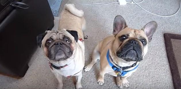 Pugs Zeus and Rambo