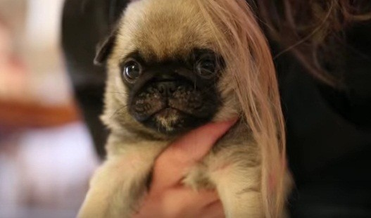 pug playing with her mom's hair