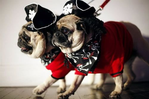 pirate pugs