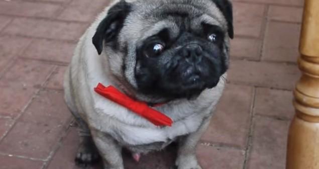 pug in bowtie