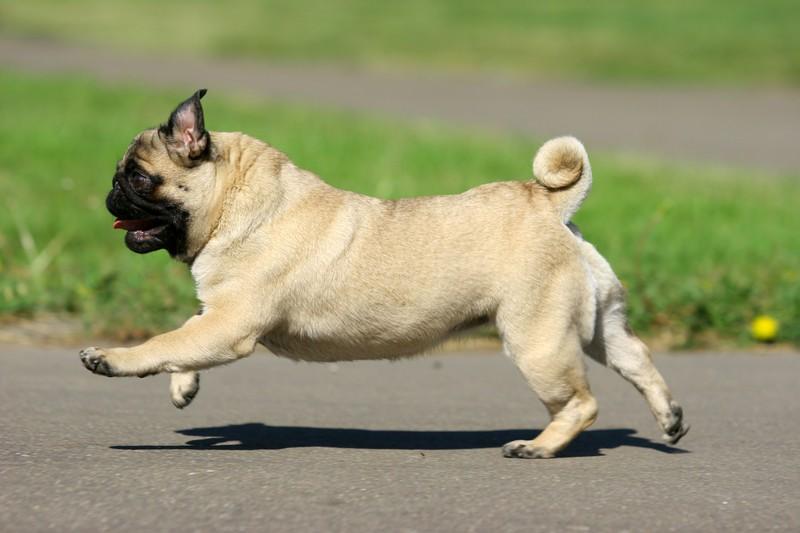 happy and active pug