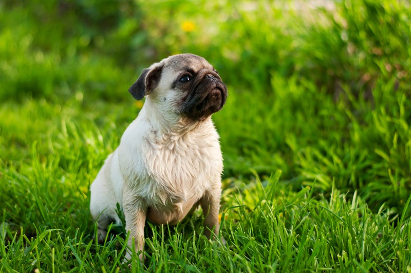 pug in the grass
