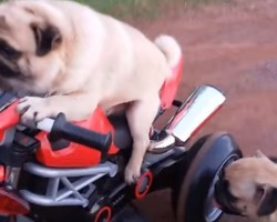 Watch a Pug Go on a Joy Ride… on a Motorcycle! LOL!