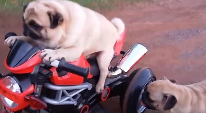 pug on motorcycle