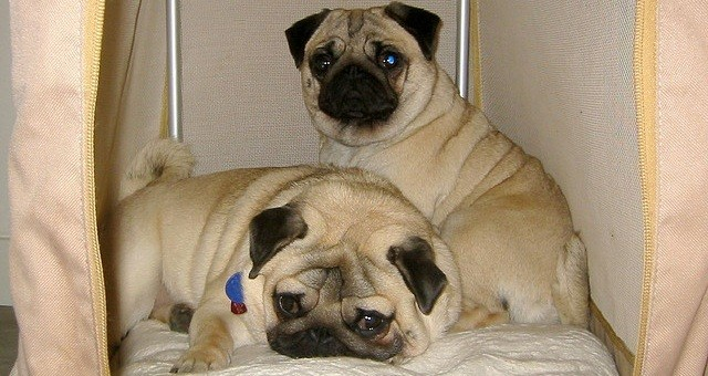pugs in their crate