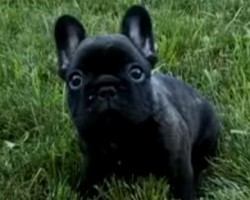 [VIDEO] Learn all About Your Frenchie – You'll Especially Love This Intriguing Fact Revealed at 01:53!