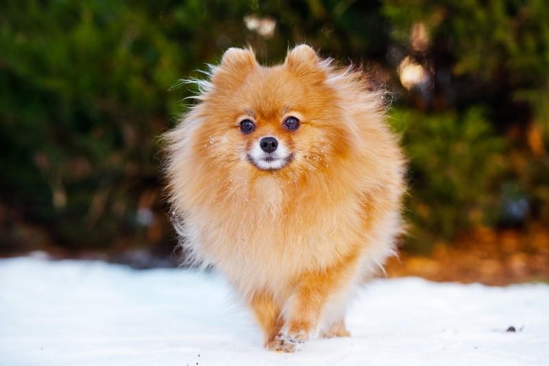 Pomeranian dog walking on the snow