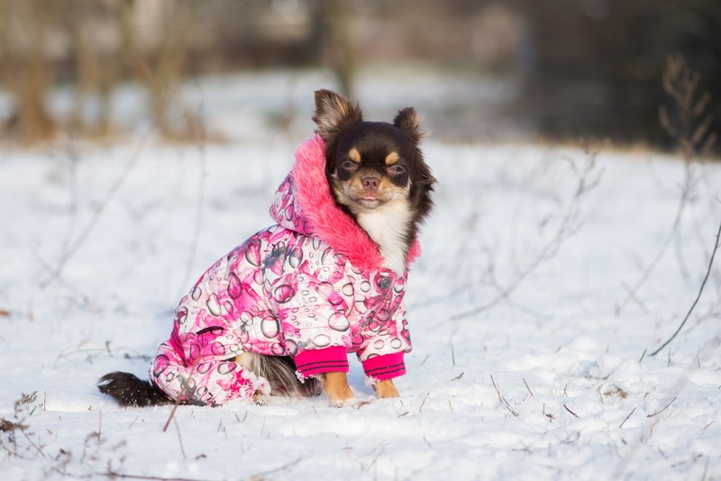 dog in a winter jacket