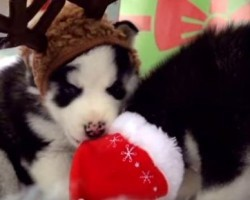 [VIDEO] Husky Puppies Melt Hearts as They Play in a Doggy Winter Wonderland