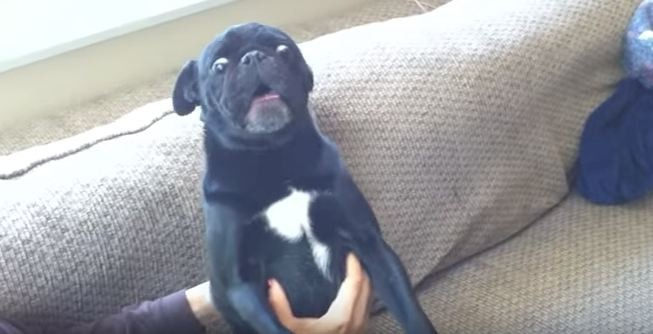 Sampson the pug's temper tantrum