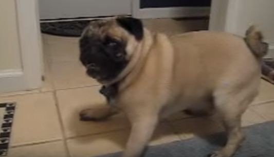 freaking out pug