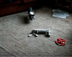 A Pug and Pig Like to Play Together and with Toys too?! This is SO Cute!