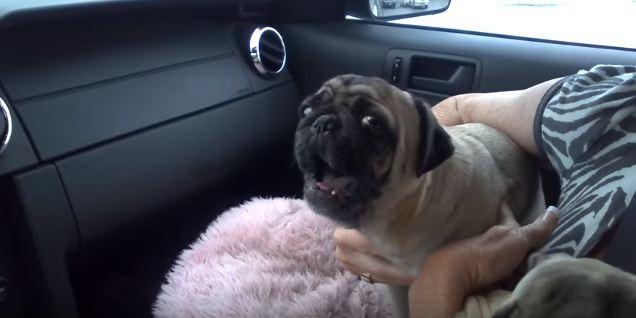 pug lets loose