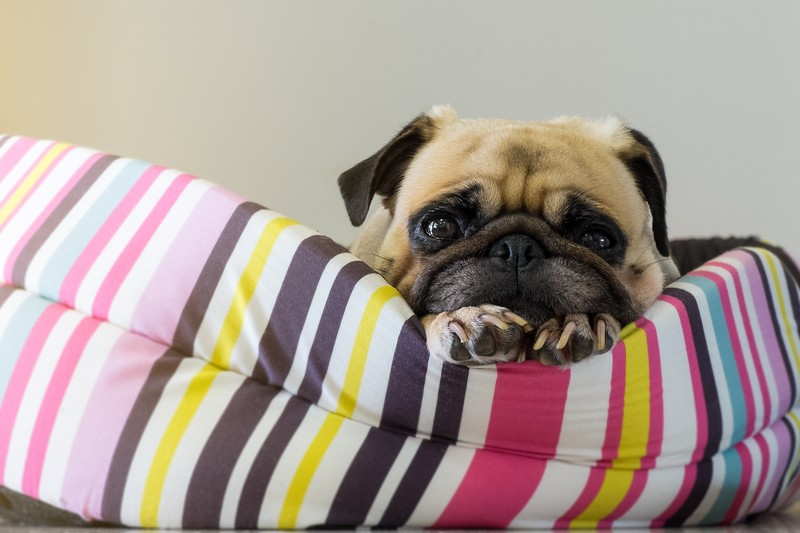 pug on a dog bed