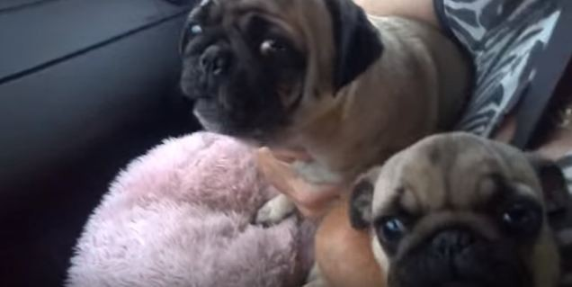 pug staying out of other pug's way