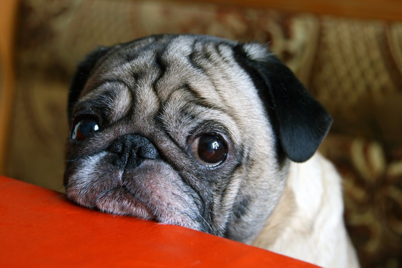 sad and sick pug