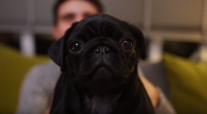 Nola the pug puppy