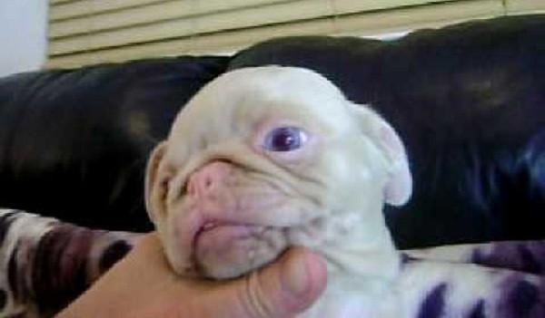 blue eyed pug