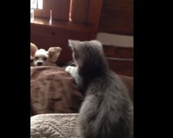 Cute Doggy Doesn't Stand a Chance Against Kitten When it Comes to Getting on the Bed… Or Does He?!
