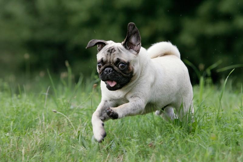 happy young pug
