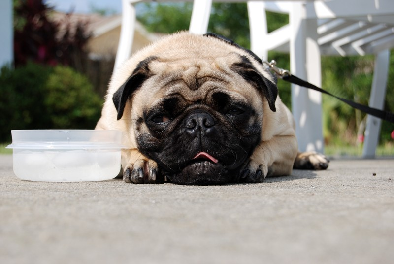 pug and water bowl