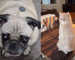 (VIDEO) You'll Never Believe What Happens When a Pug Gets Pranked by a… Cat?!