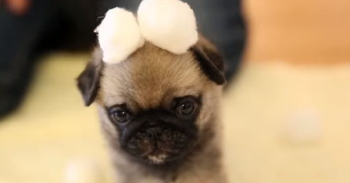 pug puppy with cotton balls