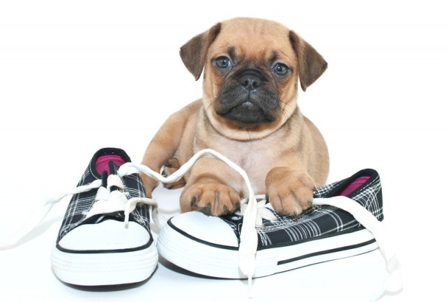 pug puppy with shoes