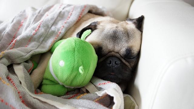 pug sleeping with stuffed animal