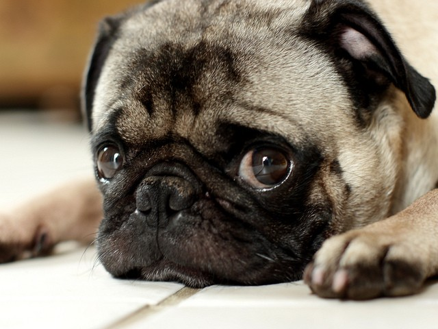 pug staring with big eyes