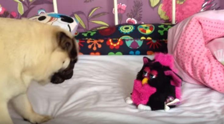 pug vs furby toy
